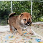 極小豆柴の子犬