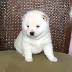 極小豆柴母犬 センちゃんの子b