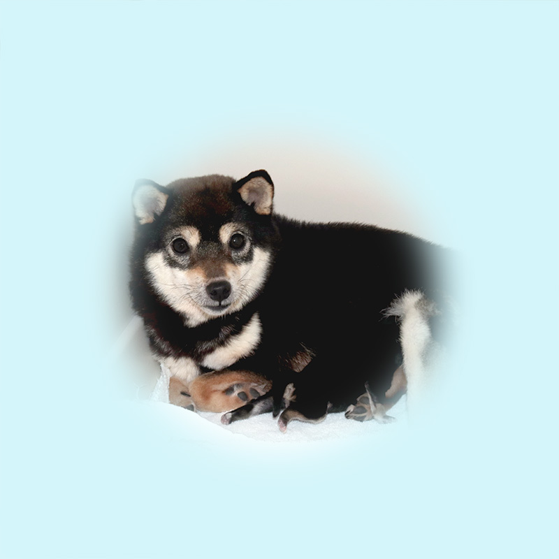 極小豆柴母犬 ヨシノちゃん