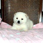 極小豆柴母犬 サワちゃんの子
