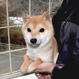 小豆柴 特別販売犬 TH-031