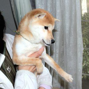 小豆柴 特別販売犬 TH-032
