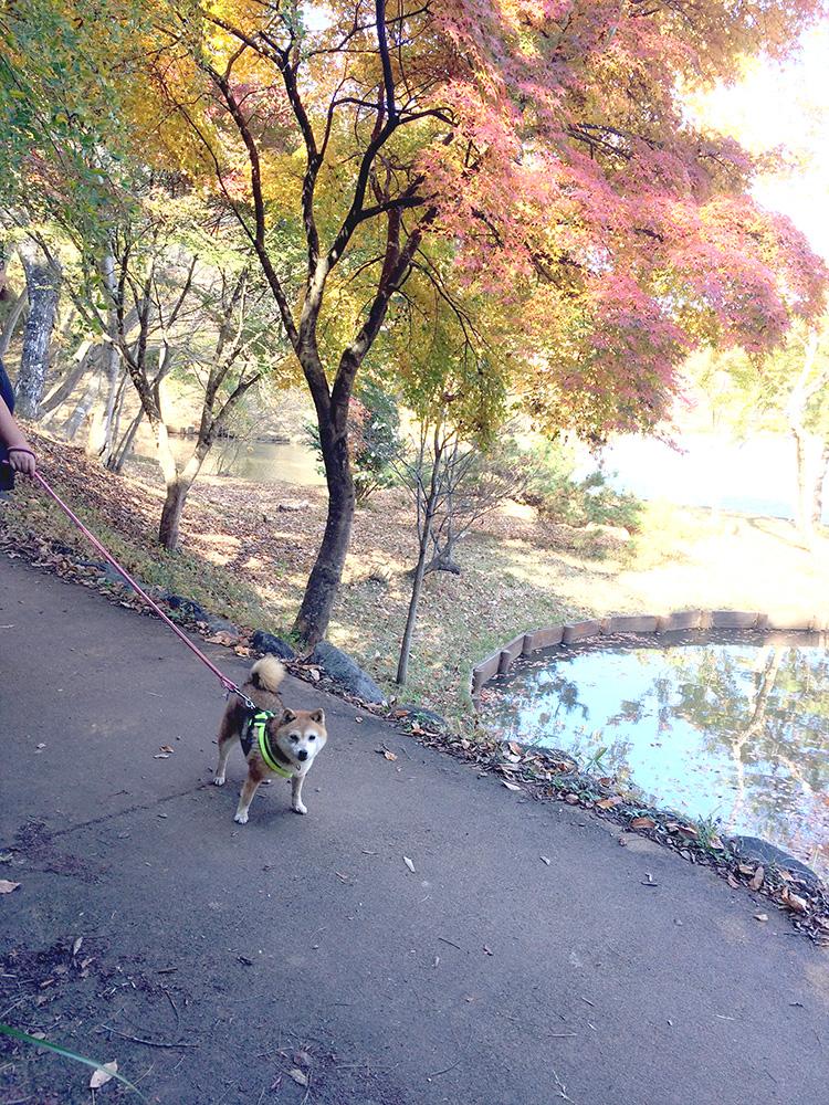 極小豆柴犬 レイちゃん