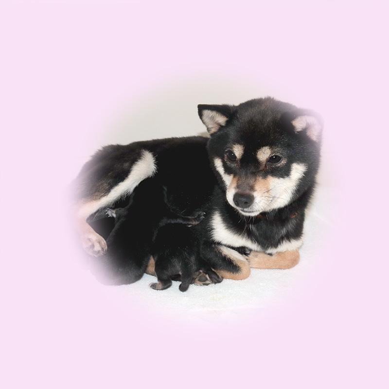 極小豆柴母犬 シーちゃん