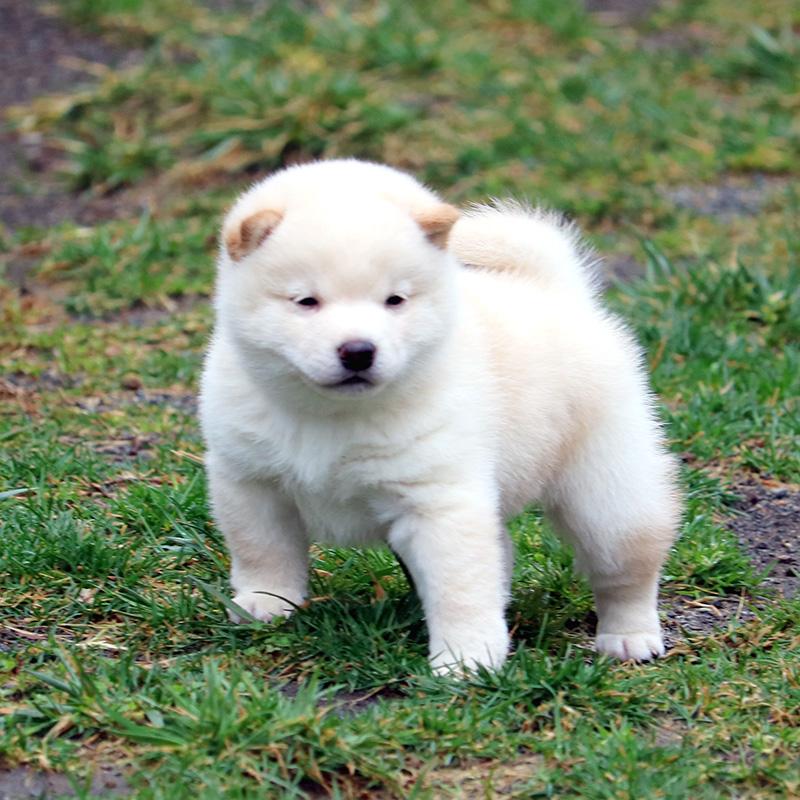 極小豆柴母犬 るはなちゃんの子