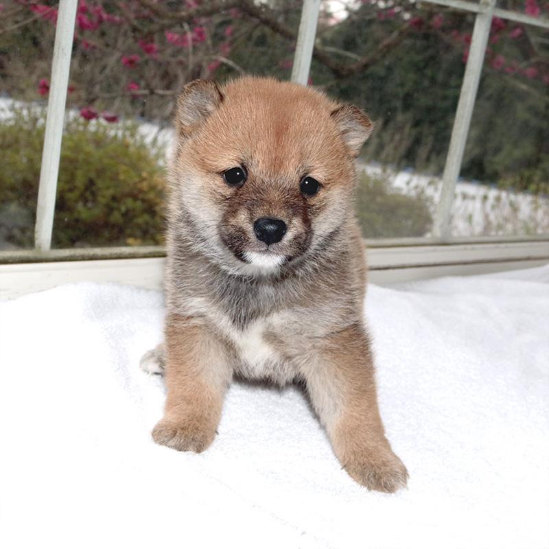 極小豆柴母犬 シマちゃんの子