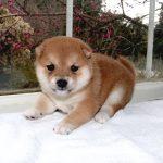 小豆柴母犬 エナガちゃんの子