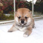 極小豆柴母犬 エルサちゃんの子