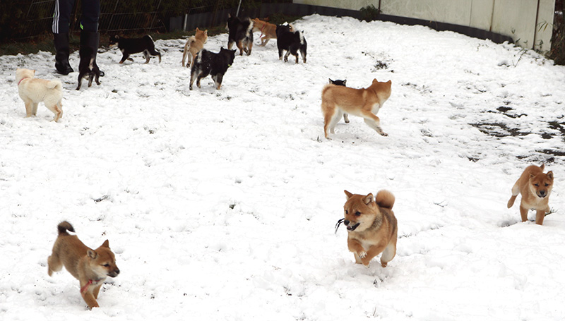 豆柴犬 特別販売犬