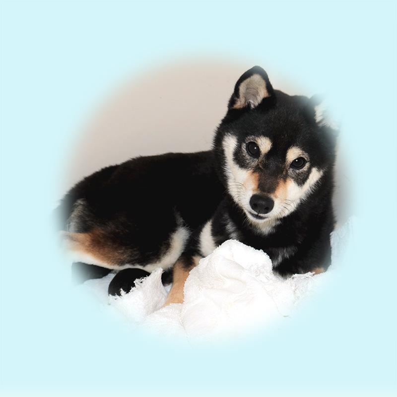豆柴母犬 ユウちゃん