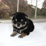 豆柴母犬 ユウちゃんの子b