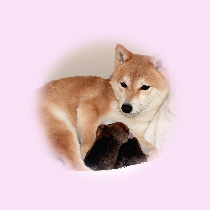極小豆柴母犬 ひめなちゃん