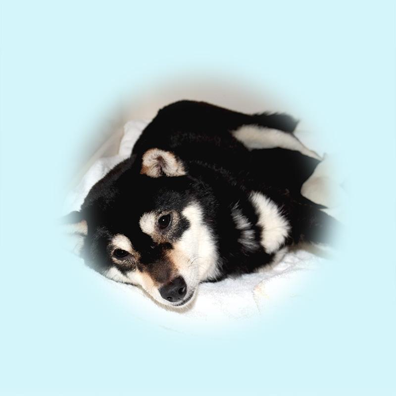 極小豆柴母犬 ミントちゃん