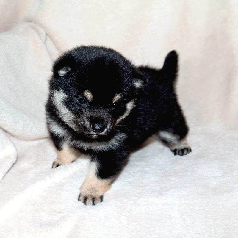 極小豆柴母犬 ポムちゃんの子b