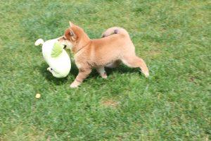 豆柴犬の子犬