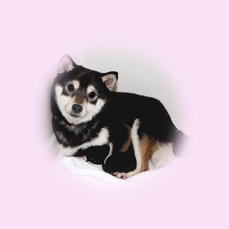 極小豆柴母犬 イブキちゃん