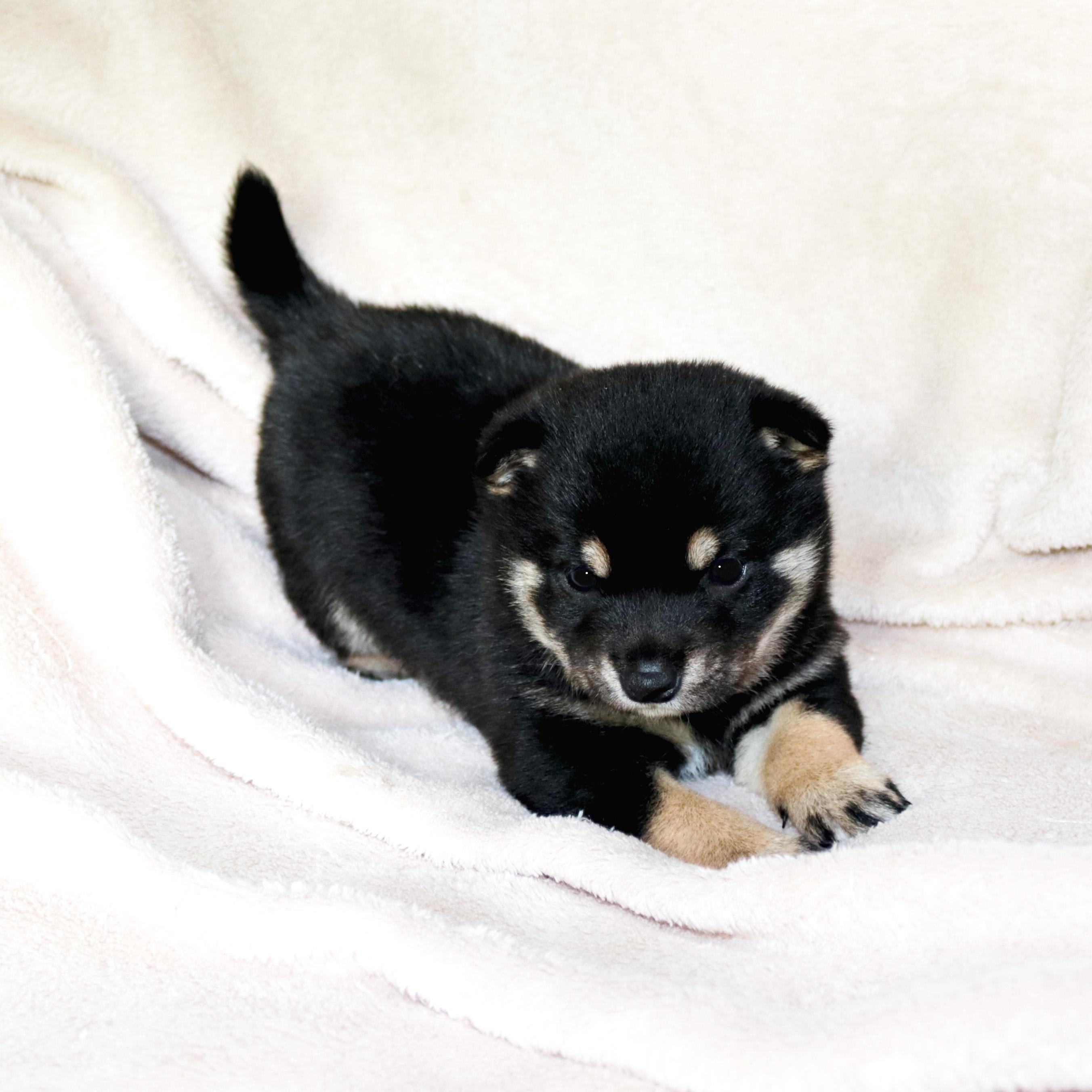 極小豆柴母犬 キノミちゃんの子c