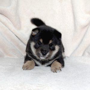 豆柴母犬 ヒヨリちゃんの子b