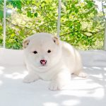 豆柴母犬 ラムちゃんの子b