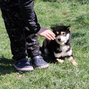 豆柴犬 訓練