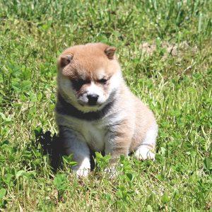 極小豆柴母犬 たゆきちゃんの子