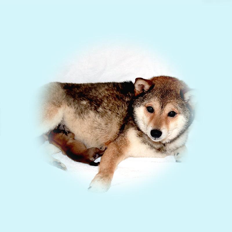 極小豆柴母犬 さくらちゃん