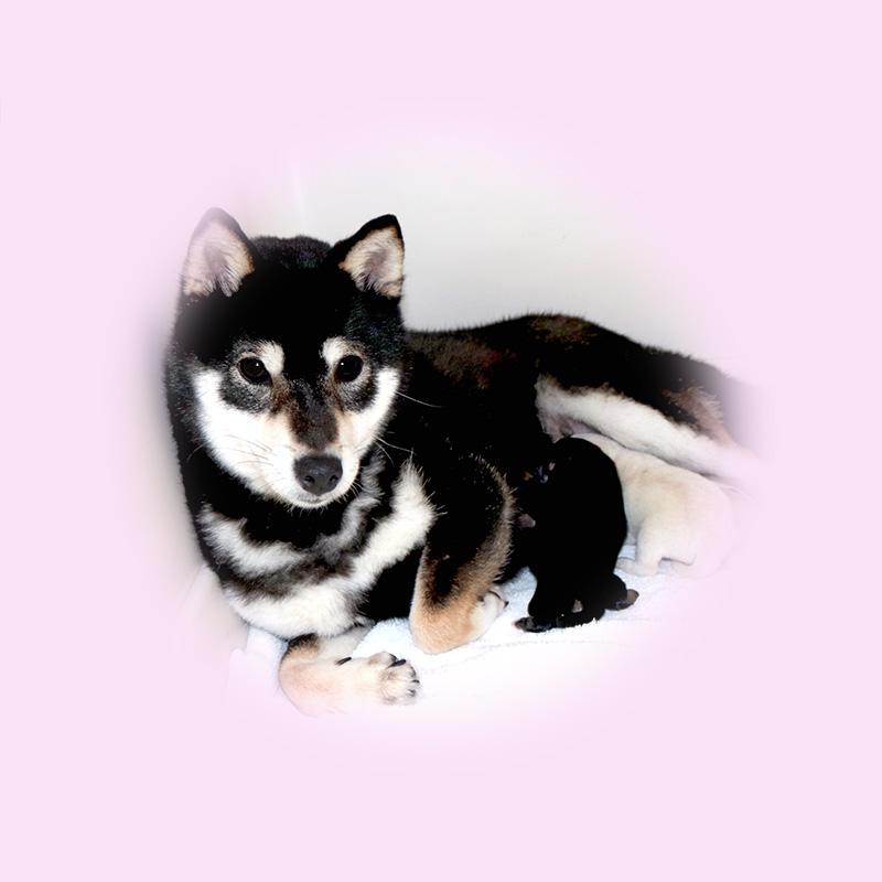 豆柴母犬 ヒヨリちゃん
