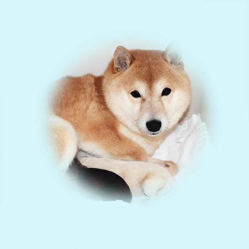 極小豆柴母犬 ラムちゃん
