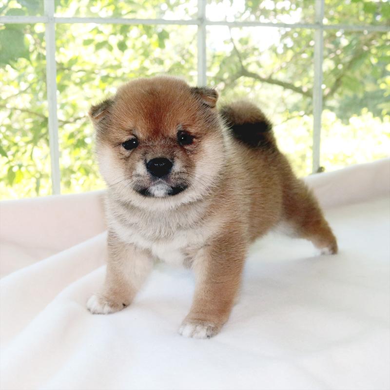 極小豆柴母犬 ソルトちゃんの子