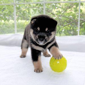 極小豆柴母犬 まつかぜちゃんの子