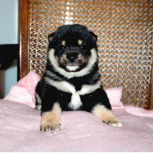 極小豆柴母犬 チエちゃんの子b