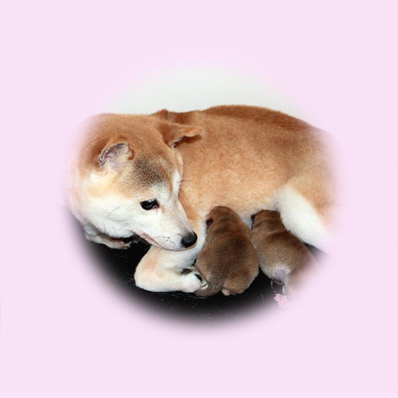 極小豆柴母犬 ユイちゃん