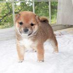 極小豆柴母犬 シギちゃんの子