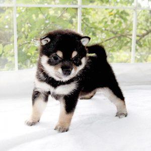 極小豆柴母犬 ベガちゃんの子b