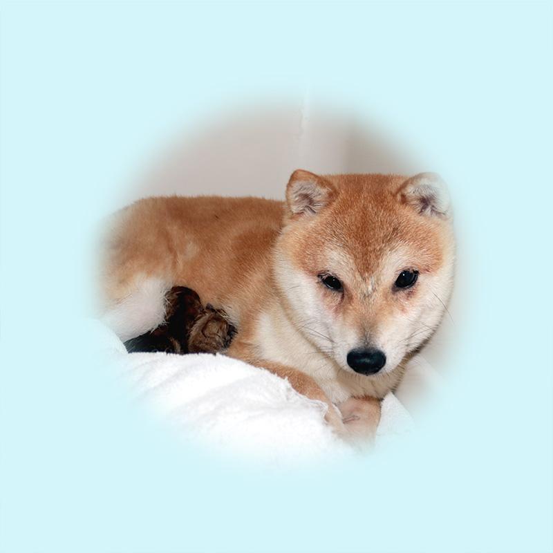 極小豆柴母犬 ホタテちゃん