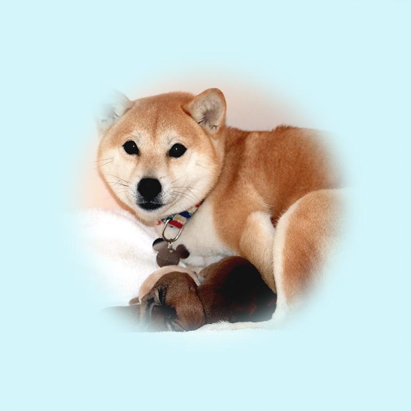 極小豆柴母犬 かさきちゃん