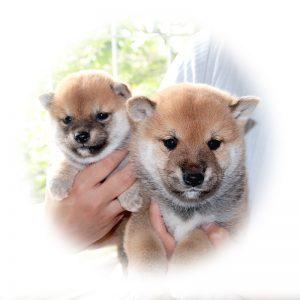 小豆柴犬と極小豆柴の子犬