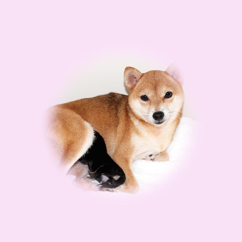 小豆柴母犬 エナガちゃん