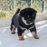 極小豆柴母犬 パセリちゃんの子b
