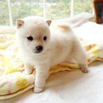 極小豆柴母犬 チアちゃんの子