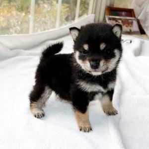 極小豆柴母犬 チャイちゃんの子