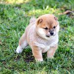 極小豆柴母犬 キノミちゃんの子