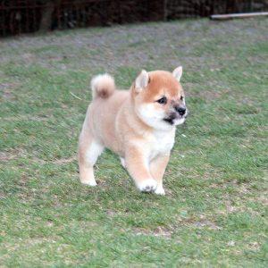 極小豆柴犬 ソウタくんの幼少期