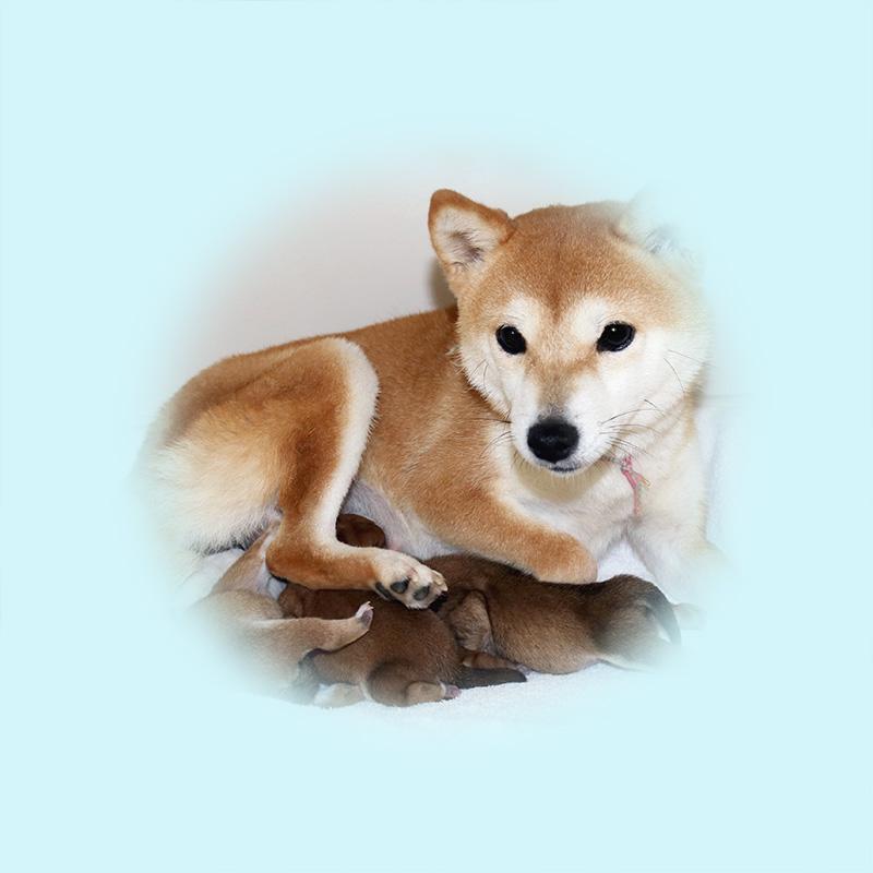 極小豆柴母犬 サカモちゃん