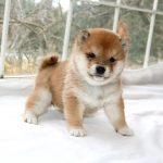 極小豆柴母犬 サカモちゃんの子b