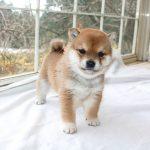 極小豆柴母犬 サカモちゃんの子c