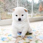 極小豆柴母犬 ユリネちゃんの子
