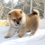 極小豆柴母犬 マナハちゃんの子