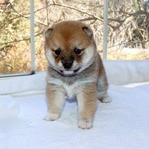 極小豆柴母犬 アロハちゃんの子b