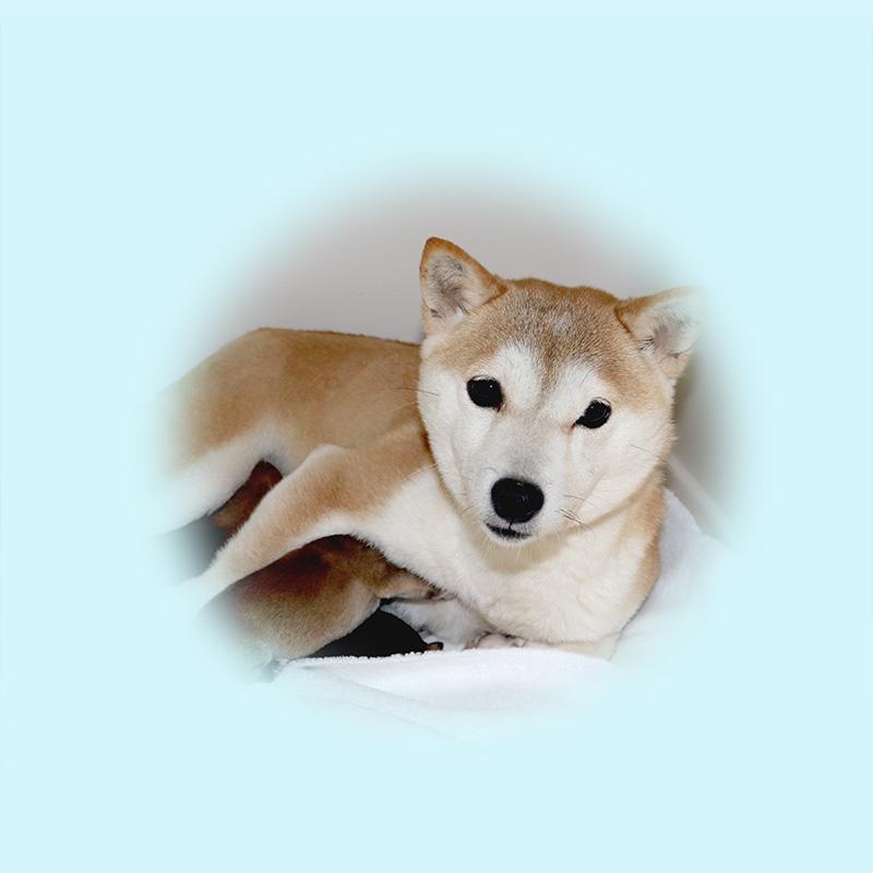 豆柴母犬 ユイちゃん